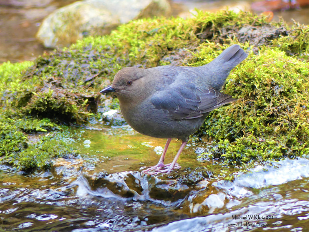 American Dipper - Hardy Falls, BC         There is a little stream where the Kokanee spawn and the Dippers appreciate it along the Okanagan Lake named Hardy Creek. These little water birds are one of the only songbirds in the world to dive for their food. They eat aquatic insects, fish eggs and fish fry. They are sometimes underwater for more than a minute looking for food and come up dry as a bone, most likely from the extra oil they produce.               Michael W Klotz 2021 - www.TheBirdBlogger.com