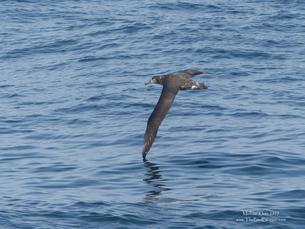 Black-footed Albatross - Tofino, BC    Wheeling around a fishing vessel, this Black-footed Albatross was in search of scraps left behind by the nets. They are absolutely amazing in the air, just over the water with their wings barely touching as they glide between the two mediums. My first look at Albatross was on this boat and it was amazing.     Michael Klotz - www.TheBirdBlogger.com
