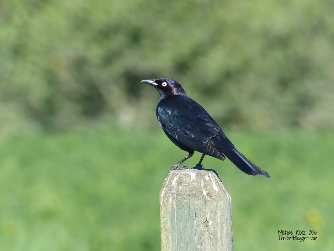 Brewer's Blackbird - Pritchard  This is a very common sight around working pastures and farms. The tell tale of this blackbird is the purple sheen on its head which is why the latin name is cyanocephalis, although the true translation is