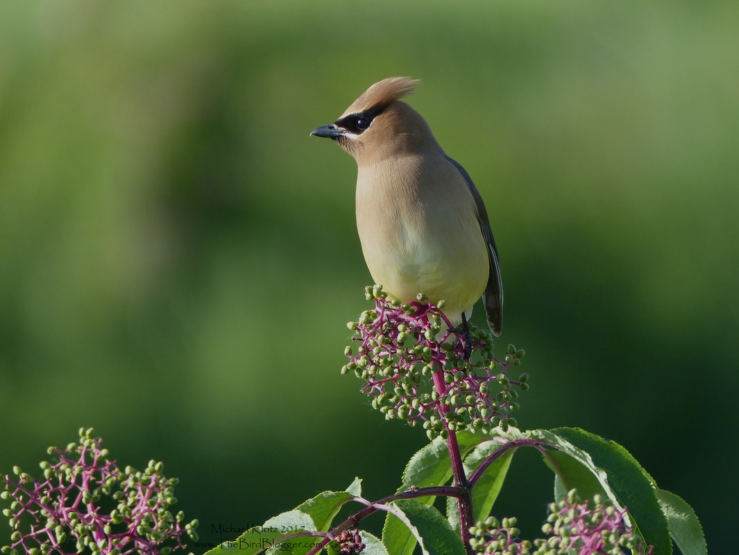 Cedar Waxwing - Coquitlam, BC -   ​Summer cousin to the Bohemian Waxwing, this airbrushed bird is a summer resident at Colony Farms in Coquitlam. There were 5 or 6 pairs moving between the Red Elderberry bushes along the Coquitlam River. These birds are the epitome of understatement, with the soft trill and the silent wing beats and the soft gradual coloring of these masked bandits.  They are fruit eaters and social which brings large flocks together in the fall in the berry trees.  Michael Klotz - www.TheBirdBlogger.com