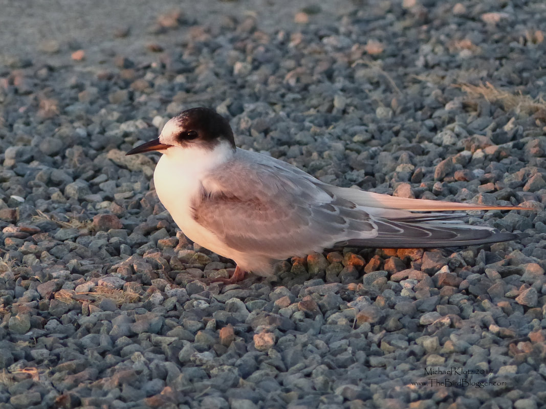 Common Tern - Richmond   My daughter, dog and I were out on Iona South Jetty, near the Vancouver airport, in search of shorebirds and on the way back we came across this little guy. Common terns migrate through our area but are seen infrequently. They are a great deal smaller, not to mention quieter, than our regular summer residents, the Caspian terns. Common terns can be found world wide, but the birds that we see here on the west coast most likely breed in Alberta or the North West Territories. https://www.allaboutbirds.org/guide/Common_Tern/id  This particular bird is already in non breeding plumage which is different from a couple items like the cap is complete to the beak and the gray mantle is solid. The time of day this bird was looking for a roost was perfect as we were into the long light and he seemed to be content to be the perfect subject for 5 minutes.     Michael Klotz - www.TheBirdBlogger.com