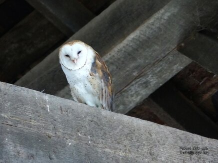 This wonderful night time wanderer comes to roost in one of the most fantastic barns. There are two birds that use this old time bit of history to shelter themselves from the daylight and aerial predators.  In North America, Barn Owls are at one of their most northern limits here in Vancouver, BC. The venture further north in Europe well into Northern Scotland and Southern Sweden. With the removal of old barns, the owls are in danger of disappearing from the landscape. There are several groups that are coming together to have barns on a stick made for them to use.   Picture