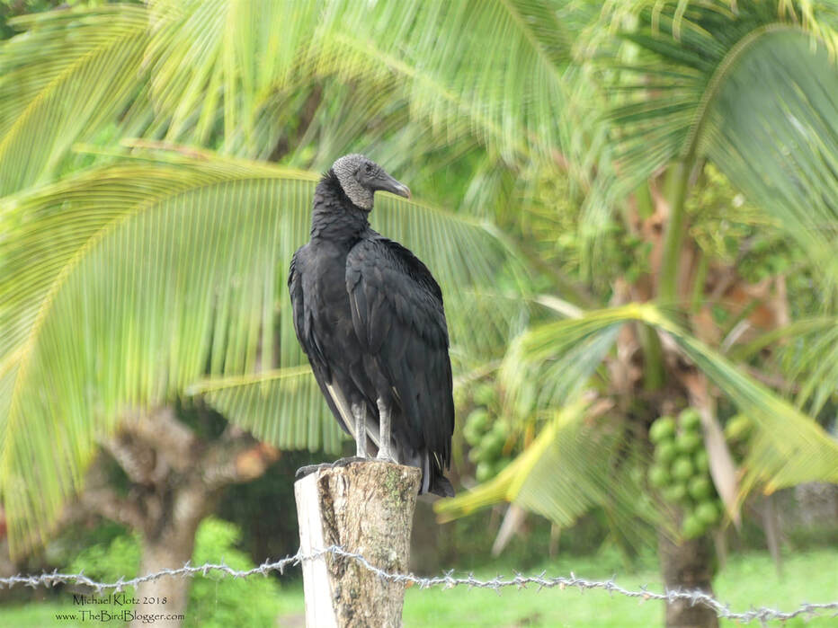 Black Vulture - Punta Cangreja, Nicaragua      In the yard of a little beach house on Lake Nicaragua, this Black Vulture was taking a break from some kind of feast in the front yard. The thing I love about this picture was the way the palm tree and coconuts in the back ground change the feel of the picture. Most times vultures aren't painted in a great light, but they do their fair share to keep the ecosystem renewed.          Michael W Klotz - www.TheBirdBlogger.comPicture
