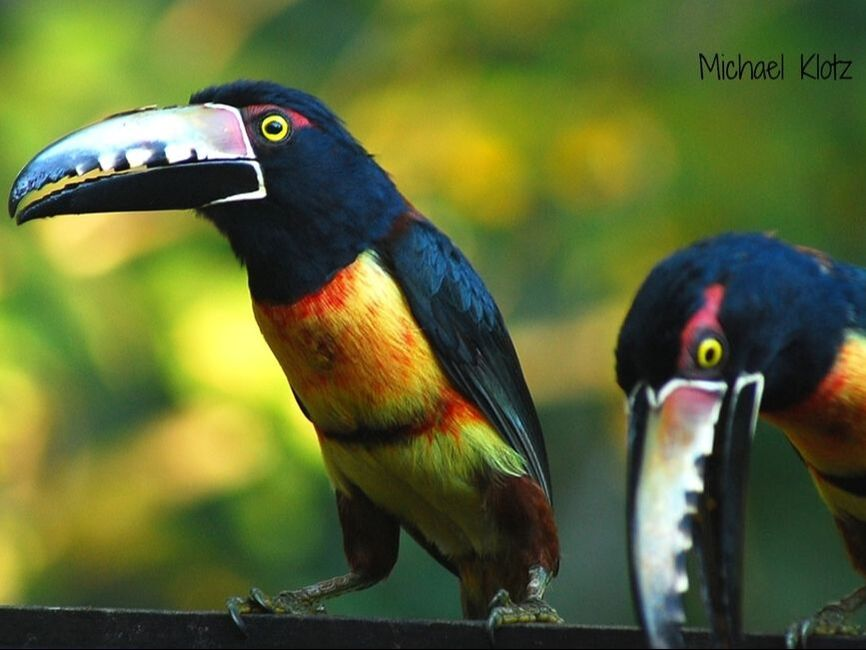 Papaya was on the morning menu at Crystal Paradise Resort near San Ignacio. A flock of 5 wild birds dropped by for the fruit left out which took no time at all to disappear. The toucans are small in comparison to the Keel-billed Toucan which is the national bird of Belize.