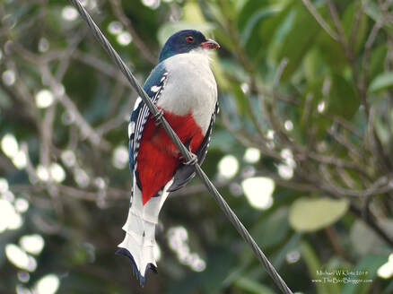 Cuban Trogan - Cueva de los Peces, CU         The Cuban Trogon is the national bird with many of the locals mentioning the colors matching the Cuban Flag. This beautifully colored bird was hawking for insects along the entrance to the Cueva de los Peces (cave of fishes.) Trogons always remind me of little robots with the mechanical movement of their heads while they search the area for their next meal. Then, all of a sudden, they dash off in a flurry of floppy wings to their food and the next perch.                    Michael W Klotz 2019 - www.TheBirdBlogger.com Picture