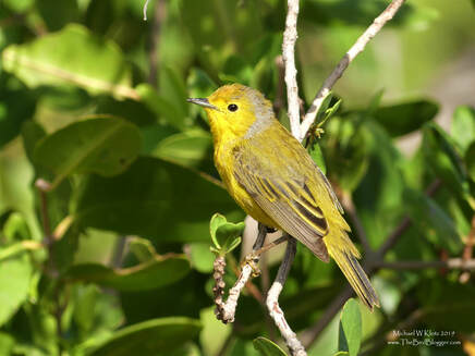 Yellow Warbler (Golden Warbler) - Varadero, CU        There are many versions of this little yellow warbler. This so happens to be the version that lives in the mangroves from Florida south to Columbia, including a good portion of the Caribbean islands. The chestnut cap is the trademark of the