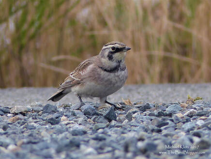 Horned Lark - Richmond, BC     During the fall, Horned Larks lose their