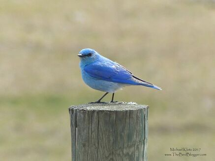 Mountain Bluebird - Along the north side of the Thompson River there are some great farm fields and fence posts. In the spring and summer the Bluebirds flycatch from these posts and make great subjects. In BC there was a great decline of bluebird numbers due to House Sparrows, Starlings, and Raccoons, among other things. A great many people have put substantial effort into the return of nesting birds. Here is a link for just such a group.     Michael Klotz - www.TheBirdBlogger.com Picture