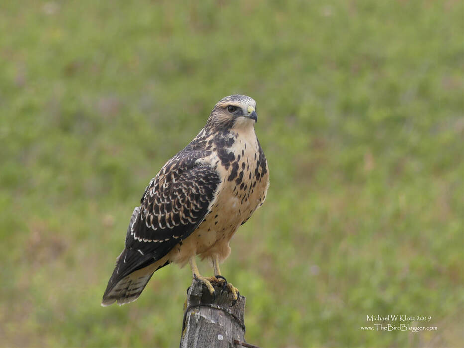 Swainson's Hawk - Pincher Creek, AB          I always love the prairies for the raptors and this Juvenile Swainson's Hawk is no different. Along a farm road in Pincher Creek, we met including his sibling who was on the fence post over. They must have been waiting to be fed as they were calling in the typical begging voice when I first showed up.                     Michael W Klotz 2019 - www.TheBirdBlogger.com