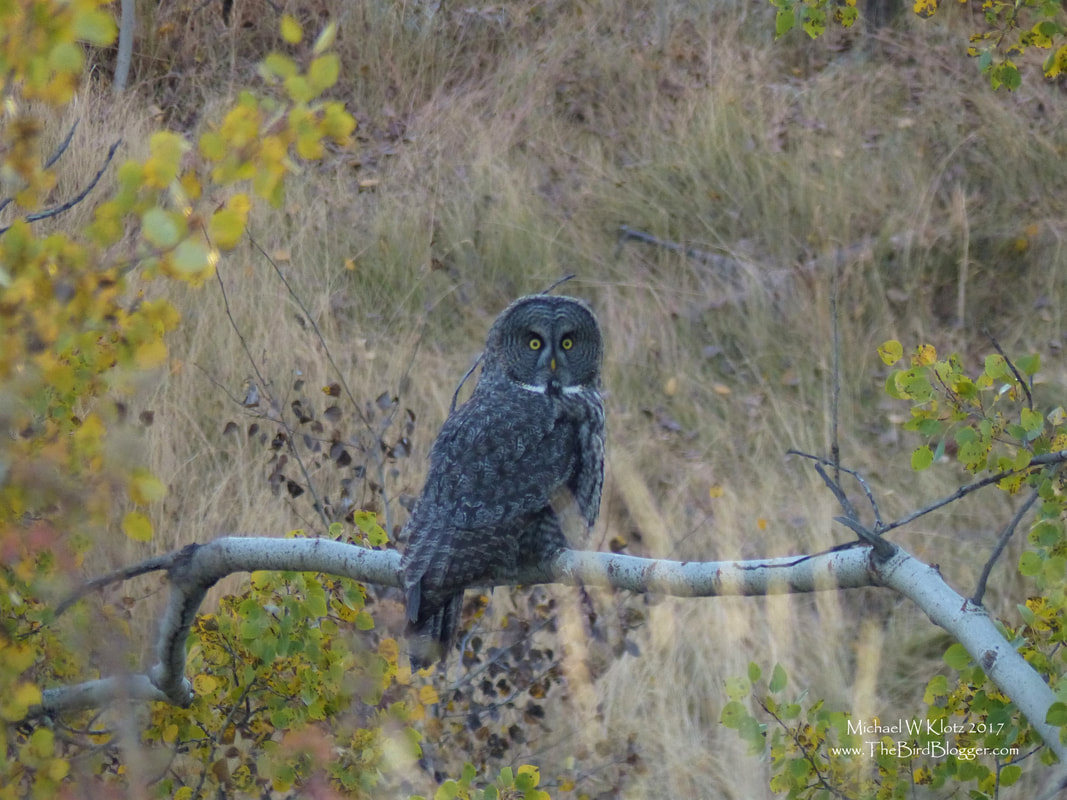 Great Gray Owl - Quilchena, BC     There is nothing more special than seeing one of these great birds in the morning light. This wonderfully large owl was stalking a squirrel in a copse of poplar and you could hear the squirrel scolding the owl as it sat watching for the right moment to move. Great Gray Owls are typically found in the boreal forests or western mountains, but I have seen a couple of birds in the grass lands of the BC interior. This open landscape allows for plenty of prey to bring home to the nest. Great Grays are one of the largest owls in North America, but are not the heaviest. Their stocky build is only a well insulated set of feathers.     Michael Klotz - www.TheBirdBlogger.com