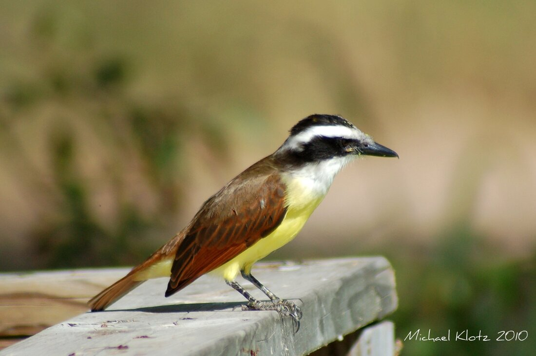Great Kiskadee - Edinburgh, TX      Off a boardwalk in Edinburgh Scenic Wetlands, Edinburgh, Texas. He was fishing in and amongst the duck week on the little pond behind the main building. If even a minute movement in the duck weed and he was on it.         Michael W Klotz - www.TheBirdBlogger.com