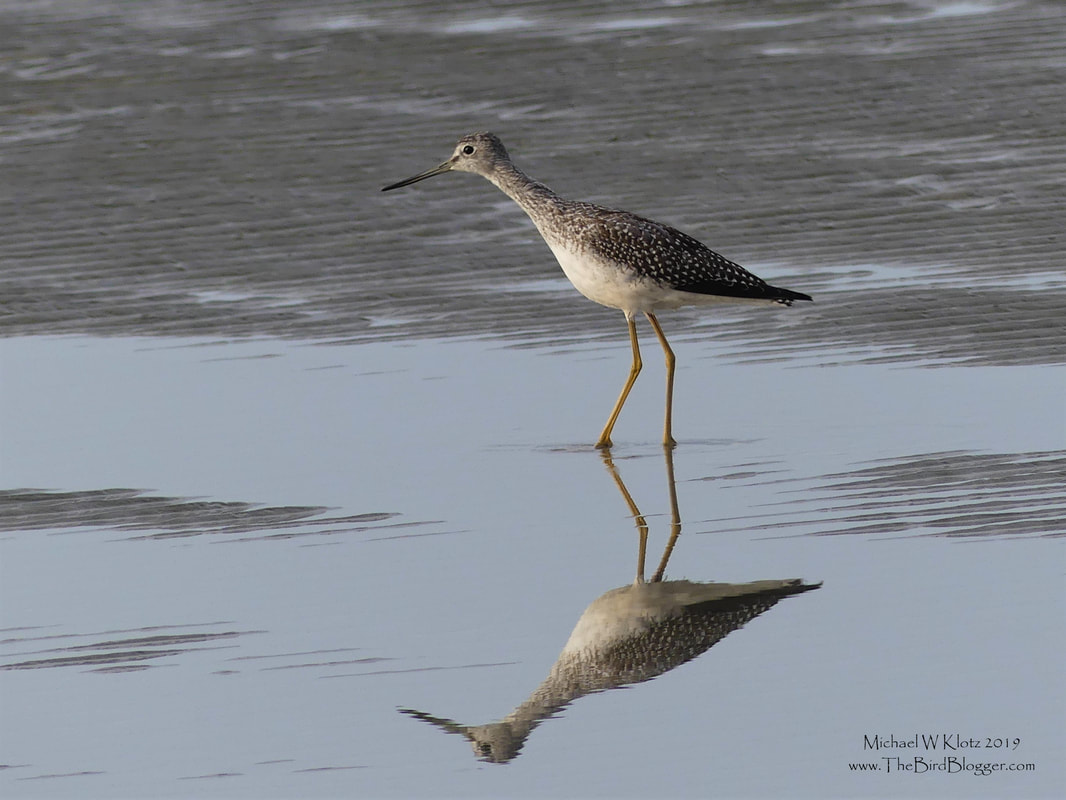 Greater Yellowlegs - Long Beach, BC         Migration time for Long Beach in September and this Greater Yellowlegs is no exception. He was the only one on the beach of his kind, but he was keeping pace with several of the other peeps. One thing that is always hard to do with this bird is tell is the difference from its very close cousin the lesser yellowlegs. Some indicators include, size, bill shape and length, primary feather projection past tail. The size is very simple to use when there are mixed flocks of the bird. The Greater is obviously bigger by a half at least. The bill is slightly upturned and at least 1.5 times the length of the head in the larger bird.                  Michael W Klotz 2019 - www.TheBirdBlogger.com