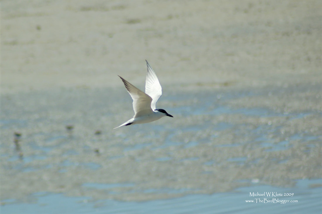 Gull-billed Tern - Sand Diego, CA       I thought this was a pretty good find on a weekend trip to San Diego. He was with his mate in the San Diego River Estuary harassing the Willets for their fiddler crab meals. ​              Michael W Klotz - www.TheBirdBlogger.com