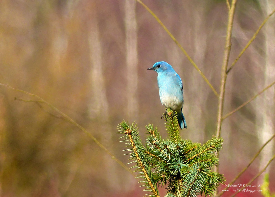 Mountain Bluebird - Surrey, BC    Migration has started and one of our first visitors is the Mountain Bluebird. There were three of these brightly colored thrushes that mad landfall in Surrey's Big Bend Park. The two males and one female were making their rounds in the meadows near some cottonwoods. This small fir made the perfect vantage for hawking insects in the early spring morning. Several other known birders were also there getting the first glimpses of spring color in Greater Vancouver. Thanks for the spot John.     Michael W Klotz - www.TheBirdBlogger.com