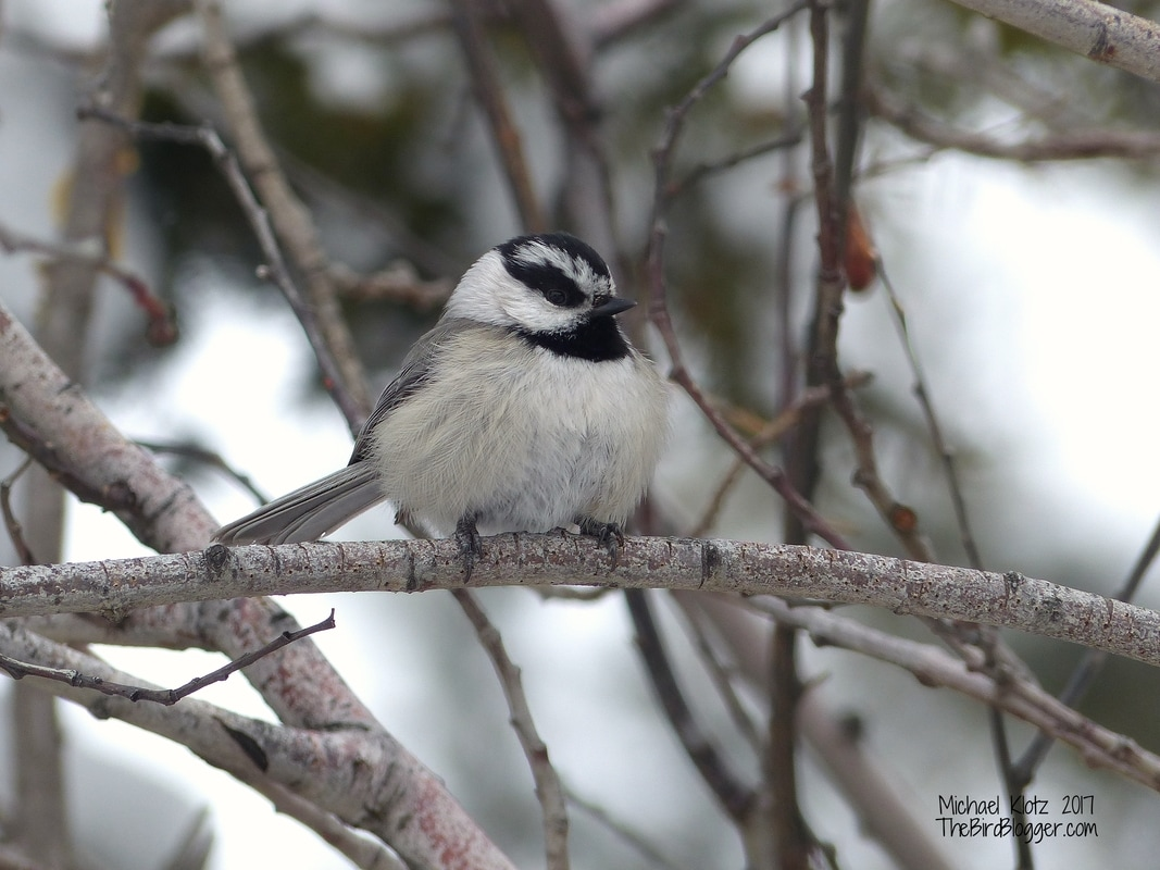 It was -1F/-18C when I ran into a group of small birds making their way through the pine and fir above Kamloops. It was a mixed flock of Black-capped Chickadee, mountain Chickadee, Brown Creeper and Red-breasted Nuthatch. I find it amazing that these tiny little birds can survive the major sub 0 temps with a limited source of food. From what I have researched, to make sure they dont freeze overnight, the enitre flock finds a woodpecker hole and piles in on top of each other and vibrate all night to make sure they don't freeze.     Michael Klotz - www.TheBirdBlogger.com