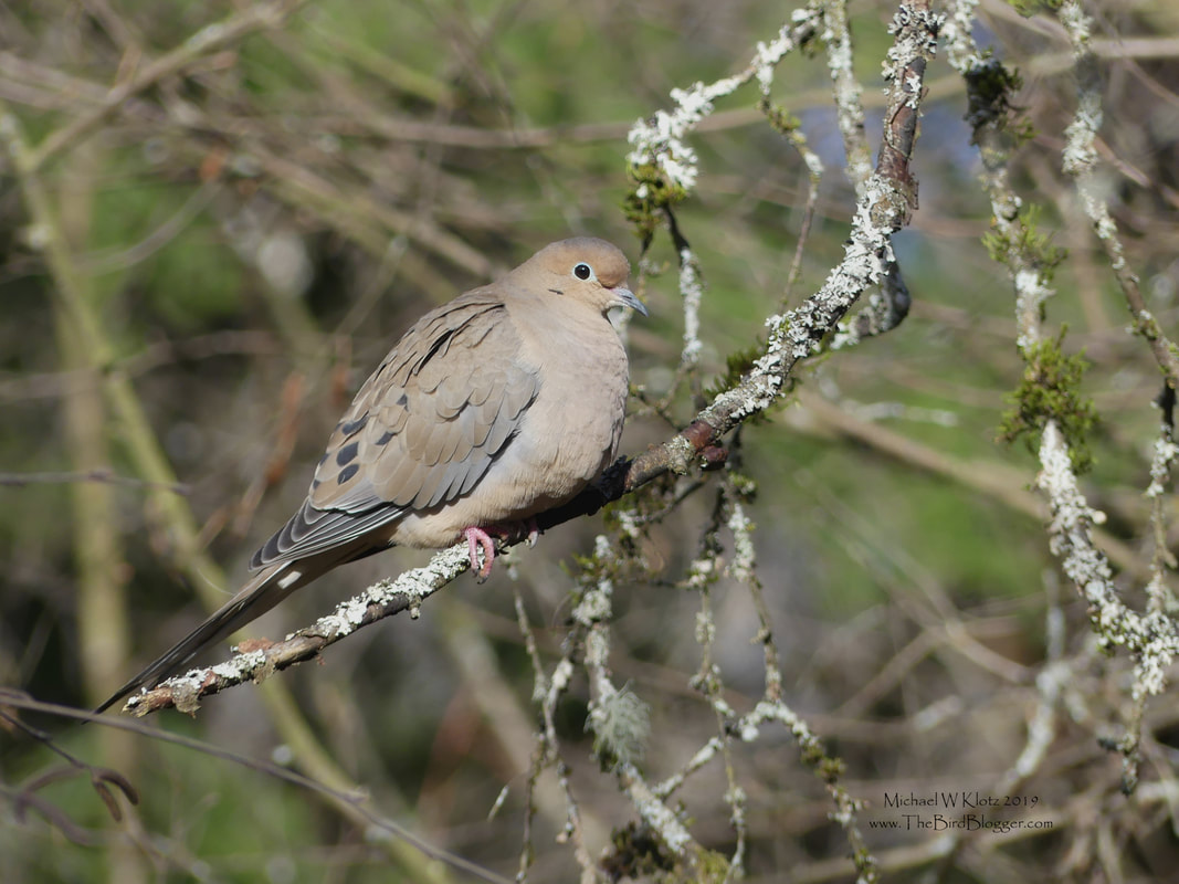 Mourning Dove - Richmond, BC         We don't get Mourning doves often here in Vancouver and we certainly don't expect to see them at below freezing temperatures. There are three wintering over at the Richmond Nature Park where the nature house puts out seed for all manor of birds. The lichen and moss really make the shot of this rare winter visitor.             Michael W Klotz - www.TheBirdBlogger.com