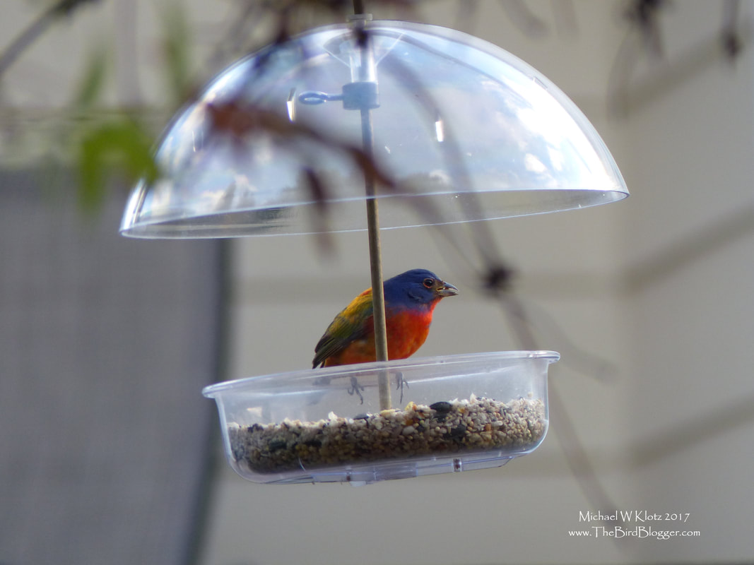 Painted Bunting - La Conner, WA     There are a handful of birds in the US that are stunning when you see them and this Painted Bunting is no exception to that rule. The colors are bright and phenomenal of the male birds and are quite a shock to see if you aren't used to them. This particular bird was just a bit off course from the regular range and landed himself in North West Washington. Mostly these bright little jewels don't come west of Texas and north of Kansas. One of the things that always comes up when us birders are looking for a rare bird is how very nice these people are who allow the throngs of interested naturalists to peer into their backyards. My hats off to these folks.      Michael Klotz - www.TheBirdBlogger.com