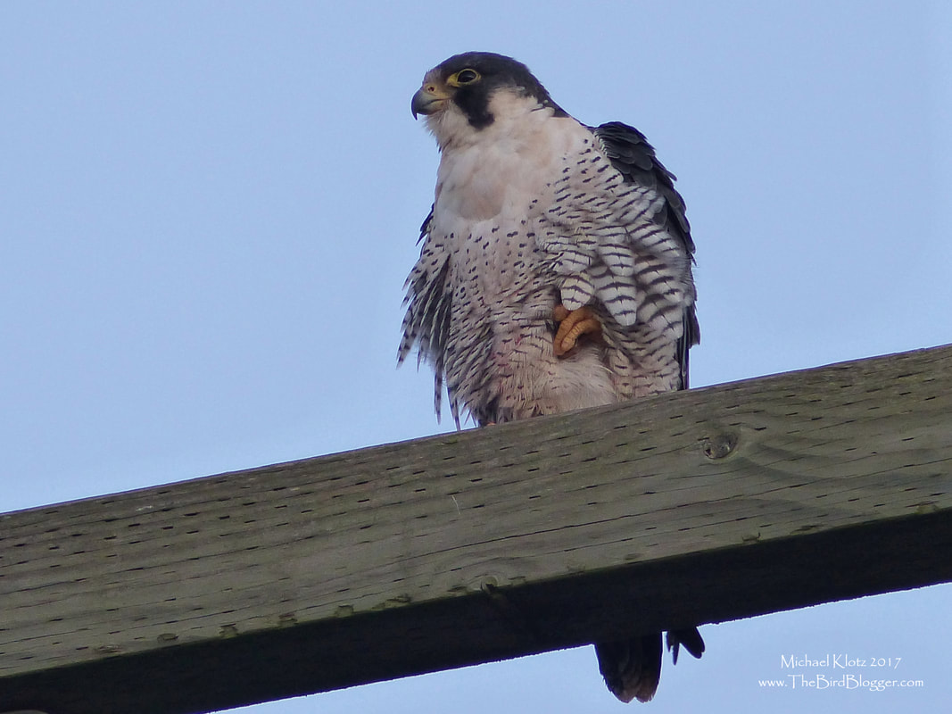 Peregrine Falcon - Delta, BC    This beautiful creature was all fluffed up this morning waiting for the sunrise to warm up from below freezing temperatures from last night. The Peregrines here usually chase the shorebirds on the foreshore around Mud Bay looking for a meal. It just so happened that we were looking for the same birds, only we were just interested in the numbers of birds for the 118th Christmas Bird Count. This was our group's only Peregrine that morning.     Michael W Klotz - www.TheBirdBlogger.com