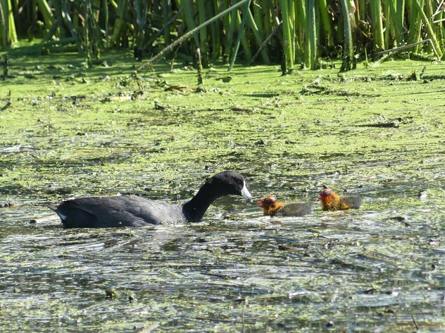 American Coots - Frank Lake, AB          I always felt the rail family had the most unusual chicks, like these American Coots. Several of them are brightly colored and have the oddest legs as is the case of the Purple Gallinule Chick. The little red helmets are actually their skull and the orange and yellow feather boa will eventually get covered by the black silky feathers of an adult. This parent was attentive and picking out the most tender piece of plant for the chicks to eat just of the inflow into Frank Lake.                   Michael W Klotz 2019 - www.TheBirdBlogger.com Picture