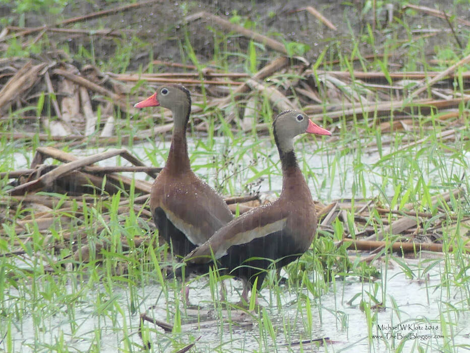 Black-bellied Whistling Duck - San Juan del Sur, Nicaragua        Like water off a ducks back! And there was more than enough water. We made the trip down to Nicaragua which is the start of the rainy season and we hit our fair share of wet, but about equal dry. This day on the way back into San Juan del Sur we came across this pair in a puddle formed just earlier that day in  a plowed field which looked like it had sugar cane in it.            Michael W Klotz - www.TheBirdBlogger.com