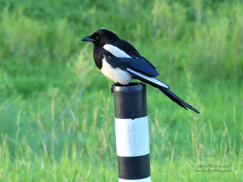 Blck-billed Magpie - Elkwater, AB         I wonder if he is thinking 'You can see me!