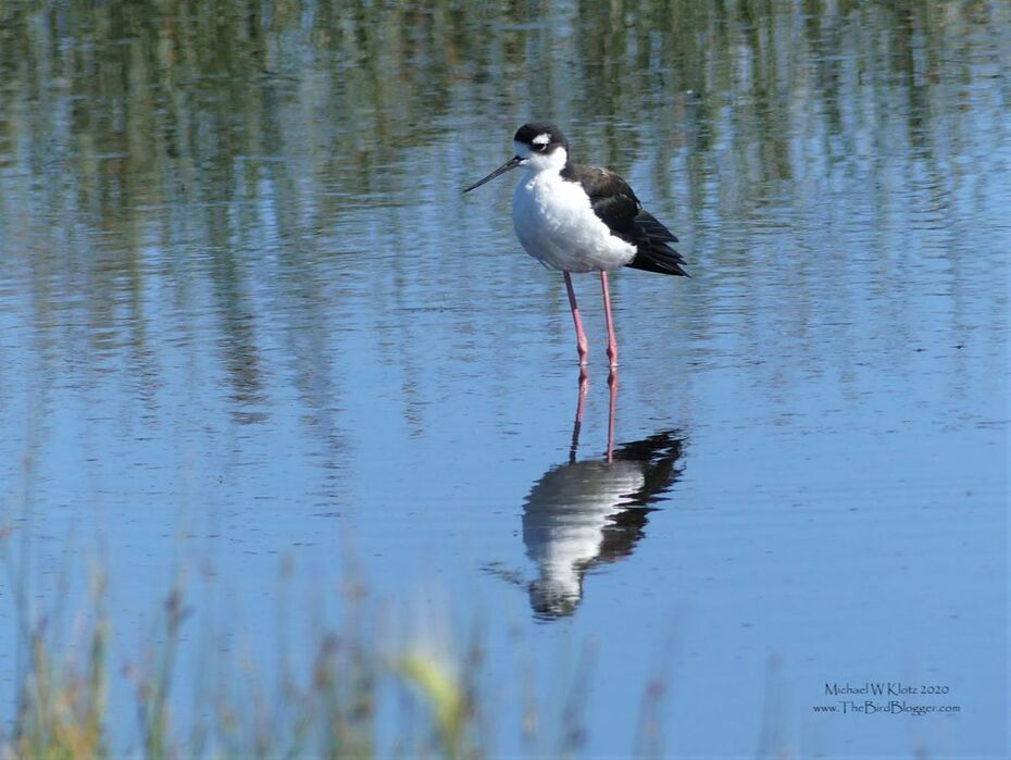 Black-necked Stilt - Frank Lake, AB        This bird reminds me of a sandpiper copying a Killer Whale with the white eye spot. They are one of two waders that are fond of salt lakes for breeding along with the American Avocet. This bird would be at the northern end of his range here in Alberta, Canada with a large population year round in Mexico and found as far south as Brazil. This particular bird was wading around the shallows at Frank Lake.                    Michael W Klotz 2019 - www.TheBirdBlogger.com Picture