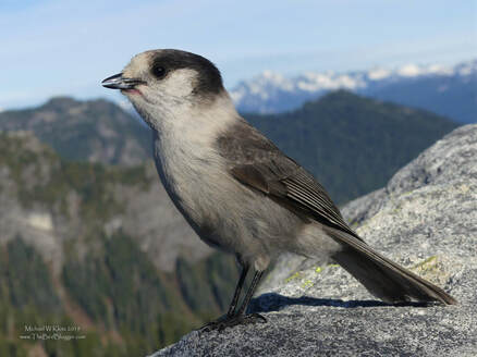 Canada Jay - Mount Seymour, BC         On a hike to the top of Mount Seymour I came across a band of Canada Jays. They were making sure that I knew they were there and very open to receiving any handouts that might be in my pack. Luckily for them, I had something that worked. Canada Jays are sometimes called Whiskey Jacks which in the Algonquin first nations language translates to trickster. This name suits them well as you might agree if you have camped in the vicinity of a family of these small Corvids.               Michael W Klotz 2019 - www.TheBirdBlogger.com Picture