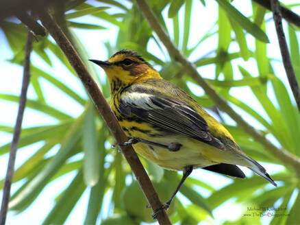 Cape May Warbler - Varadero, CU        Cuba is a natural stop on the way through for a great many birds while travelling north and south to summering and wintering grounds. The Varadero Peninsula is the furthest north you can go on the island before traveling over the gulf of Mexico. This stripped, rutsy-cheeked islander was in the larger tree in and around Varahicacos Ecological Reserve.  A neat fact about this bird is that they have a tubular tongue and drink nectar. I have even seen a very off track bird in BC chase off hummingbirds to defend the flowers they need to keep their energy up.                  Michael W Klotz 2019 - www.TheBirdBlogger.com Picture