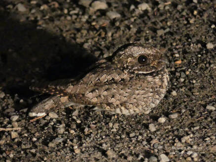 Common Poorwill - Canoe Creek, BC        The best bird of my Meadow lake Guest Ranch trip, by far, was a Common Poorwill. An outing at 10:30pm to find out if I could find one of these elusive and very secretive nocturnal birds. Sure enough, just as I came down the hill into the grasslands of the Fraser canyon, I saw the eye-shine of what was my target bird. There are only a couple of sightings at the very northern reaches of its range so I was very excited to see him on the road.  The fog lights on the truck, the Lumix 300 bridge camera, with its ability to capture tons of light and this very cooperative nightjar allowed for this rare photo. Thank you to Shelagh, Brian, Dwight and Cynthia for a wonderful experience.                 Michael W Klotz 2019 - www.TheBirdBlogger.com Picture