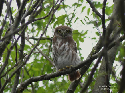 Ferruginous Pygmy-owl - Playa Marsella, Nicaragua     Overlooking Playa Marsella was several homes within the forest. A closer look revealed three Pygmy owls sitting among the branches of an overhanging tree to the road. On further inspection, they were waiting for mom and dad to bring back food. The little ones were voracious and the parents could barely keep up. It would appear that the three birds were ready to head off on their own very soon. Most pygmy owls are active in the twilight hours, but based on the amount of food being handed over, daytime was needed to fill the void.              Michael W Klotz - www.TheBirdBlogger.com