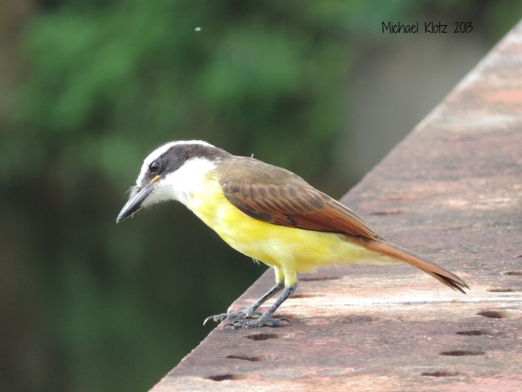 Great Kiskadee - Bermuda Landing, Belize      Flycatching off the bridge, there was little concern about my presence. This was on the road west of Burrell Boom, Belize. It looks like it might be a first year bird given the yellow gape. These birds were also common no matter where in the country I went.             Michael W Klotz - www.TheBirdBlogger.com Picture