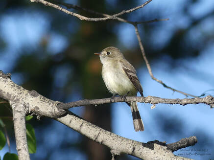 Least Flycatcher - Meadow Lake, BC        For those people who aren't hard core birders this, along with several other small flycatchers are very hard to tell apart. The best way to tell is by the difference in voice. The onomatopoeic version of this Least Flycatcher voice is a quick