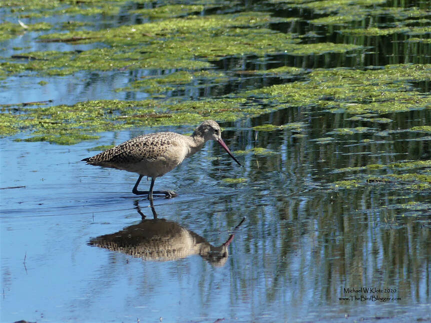 Marbled Godwit - Frank Lake, AB          The shallows in around Frank Lake were alive with shore birds, including this Marbled Godwit who was picking through the mud for yummy critters to eat. These birds spend the breeding season in the prairies and head south to the shorelines down both sides of North America. and as far south as South America. There are couple of small nesting colonies also on Hudson's Bay and on the western-most section of Alaska.                      Michael W Klotz 2019 - www.TheBirdBlogger.com Picture