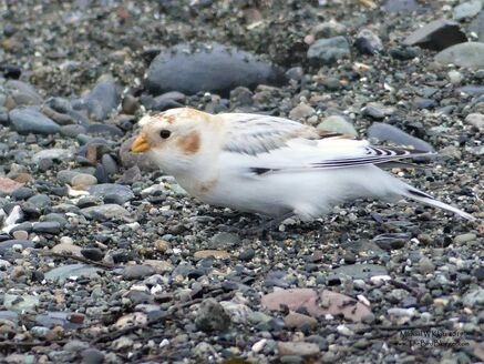 McKay's Bunting - Tsawwassen, BC            During a quick drive by on the Ferry Jetty in Tsawwassen, we came across a very pale Snow bunting. Not being familiar with the female McKay's we carried on with the sighting listed as a Snow. Liron Gertzman contacted me a couple days later and suggested the bird as a McKay's so we compared notes and photos and he passed along the info to our resident rare bird expert, Melissa Hafting. Mel contacted a couple of the known experts on the subject and to all of our surprise, we were confirmed with a McKay's. Please see the details of Mel's research here.               Michael W Klotz - www.TheBirdBlogger.com Picture