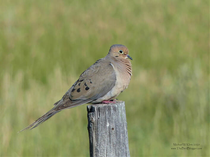 Mourning Dove - Wildhorse, AB        For such a plain brown bird these little members of the pigeon family get tons of attention. It could be the soft mournful sound that they are named after, or the small cute frame of these generally shy birds. They are numerous throughout North America, but are slowly declining in the west. This bird was sitting pretty on a fence post just north of the Wildhorse, Alberta border crossing.                    Michael W Klotz 2019 - www.TheBirdBlogger.com Picture