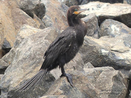 Neotropic Cormorant - San Juan del Sur, Nicaragua      I don't get to watch the miniature versions of our double crested cormorants but there were plenty in San Juan del Sur. This photo was on the breakwater just of the docks on the south side of the bay where they were drying off from a swim near the shore. They are very adept at fishing the surf and I am guessing that they use the bubbles as cover. As always, the blue-green eye is always striking.         Michael W Klotz - www.TheBirdBlogger.com Picture