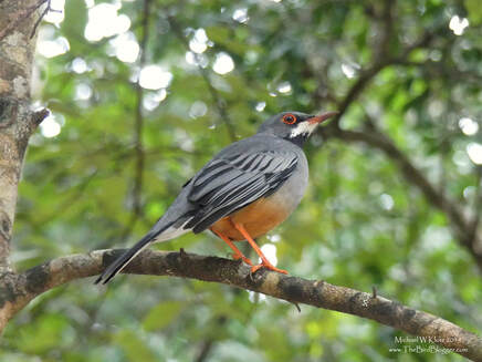 Red-legged Thrush - Cueva de los Peces, CU Picture