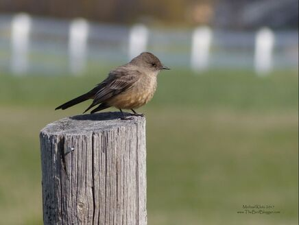 Say's Phoebe - Kelowna  On the way into Robert Lake, a Say's Phoebe was flycatching from the fence posts. I parked 5 posts up from the bird and waited patiently for him to land on my fence post. I near about fell over when he did exactly what I was thinking. Sometimes photography requires all sorts of ingenuity to get the shot and using a vehicle as a blind works very well. Say's pheobes like grassland or farm land with perches 3-5 feet from the ground. They are also one of the flycatchers that breeds furthest north into the arctic circle and to the very northern tip of Alaska.     Michael Klotz - www.TheBirdBlogger.com Picture