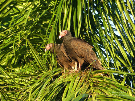 Turkey Vulture - Santo Tomas, CU          I always thought vultures were a dessert type of bird, but I guess thats what watching too many cartoons can do!  These not so pretty birds were hanging out in the early morning sun on a coconut palm in the village of Santo Tomas, Cuba. Most vultures wait on hill sides until the thermals start so they don't have to spend so much energy on getting into the air, but when you live in the swamp, sometimes a palm tree is the tallest thing around.                  Michael W Klotz 2019 - www.TheBirdBlogger.com Picture