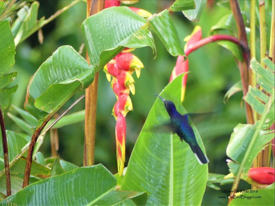 Violet Sabrewing - Selva Negra, Nicaragua        Central America's largest hummingbird was guarding a patch of Heliconia flowers during our visit to Selva Negra. They prefer the mountainous regions of the neotropical forests staying above 1000 feet above sea level. This male was working the patch of Lobster Claw Heliconia keeping all other birds well away from his prized possession. They didn't even have to be interested in the flowers for them to get a reaction. Notice the bill is perfectly curved to fit into the curved opening to allow for the best reach into the nectar.             Michael W Klotz - www.TheBirdBlogger.com Picture