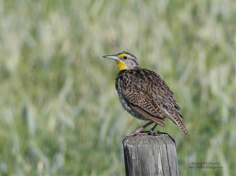 Western Meadowlark - Wildhorse, AB         The songster of the grasslands is this large chunky bird with the golden throat. The Western Meadowlark is found from the Great Lakes west with some of the territory overlapping with the Eastern Meadowlark. The visual differences are few, but the song is substantially different. This makes for a much easier time where the two over lap. The bird was found just north of the Wildhorse border crossing in Alberta.                    Michael W Klotz 2019 - www.TheBirdBlogger.comPicture