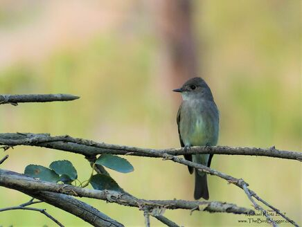 Western Woodpewee - Pritchard, BC Hunting around a Saskatoon Berry bush was where I found this vocal flycatcher. The