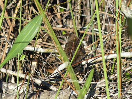 Zapata Wren - Santo Tomas, CU         Part of the excitement of birding other countries is going in search of the extremely rare species. In this case, the Zapata wren is only found one one place in the world and that is the Zapata Swamp on the southern side of Cuba. Our guide Adrian took us by pole boat to a location in the swamp where they can be found. The bird was only revealed to science in 1926 and was named for one of its discoverers, Fermin Cervera. It is now considered endangered due to introduced predator species and drainage for agriculture.                  Michael W Klotz 2019 - www.TheBirdBlogger.com Picture