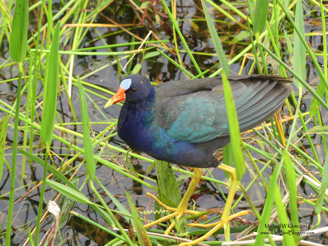 Purple Gallinule - Boynton Beach, FL       Purple in the swamps of South West USA is not a common thing to see, but this handsome bird with the candy corn beak is one of those that sticks out as memorable. This parent was feeding several young in the tall grass just off the boardwalk. One of the other notable things about this bird is the giant feet. The long toes allow it to spread the weight of the bird over a larger area allowing it to walk on the reeds and aquatic vegetation.          Michael W Klotz - www.TheBirdBlogger.com