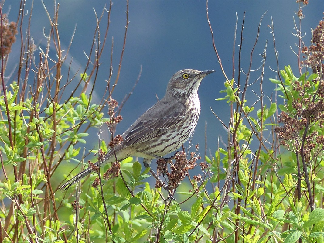 Sage Thrasher - Pitt Meadows, BC  Sage Thrashers are a very rare migrant as they head through to the sage country. It just so happened that this was the second sighting this month and more over, this one one of two birds that stopped for a quick visit. They were only here for 3 or so days. Thrashers are related to mockingbirds with the Sage Thrashers typically the most northern migrators of the lot west of the Rockies, but stick to the driest areas of scrub. They also have the shortest bill of any thrashers in North America and Caribbean.     Michael W Klotz - www.TheBirdBlogger.com