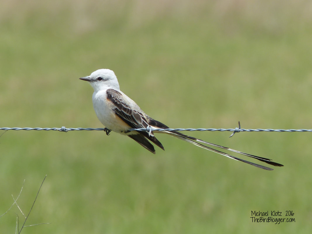 Scissor-tailed Flycatcher - Katy Prairie, TX     I have always been fascinated with birds that have these long streaming tail feathers. Do they serve a purpose besides looking cool for the ladies? This bird was flycatching from the side of the road very close to a large group of cattle in the grasslands to the west of Houston.   Michael Klotz - www.TheBirdBlogger.com