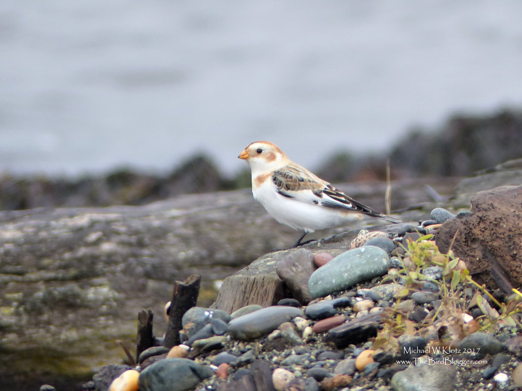 Snow Bunting - Tsawwassen, BC    Snow Buntings make their way to their southern reach and stay pretty close to the USA-Canada border for the winter. We have several birds that pass though here on the coast from Sept through December but we very rarely get a few birds to stay. This was one of a group of 5 birds that were on the Tsawwassen Ferry jetty that were around for a couple weeks. For such striking birds, they sure blend in with the surroundings well.      Michael W Klotz - www.TheBirdBlogger.com