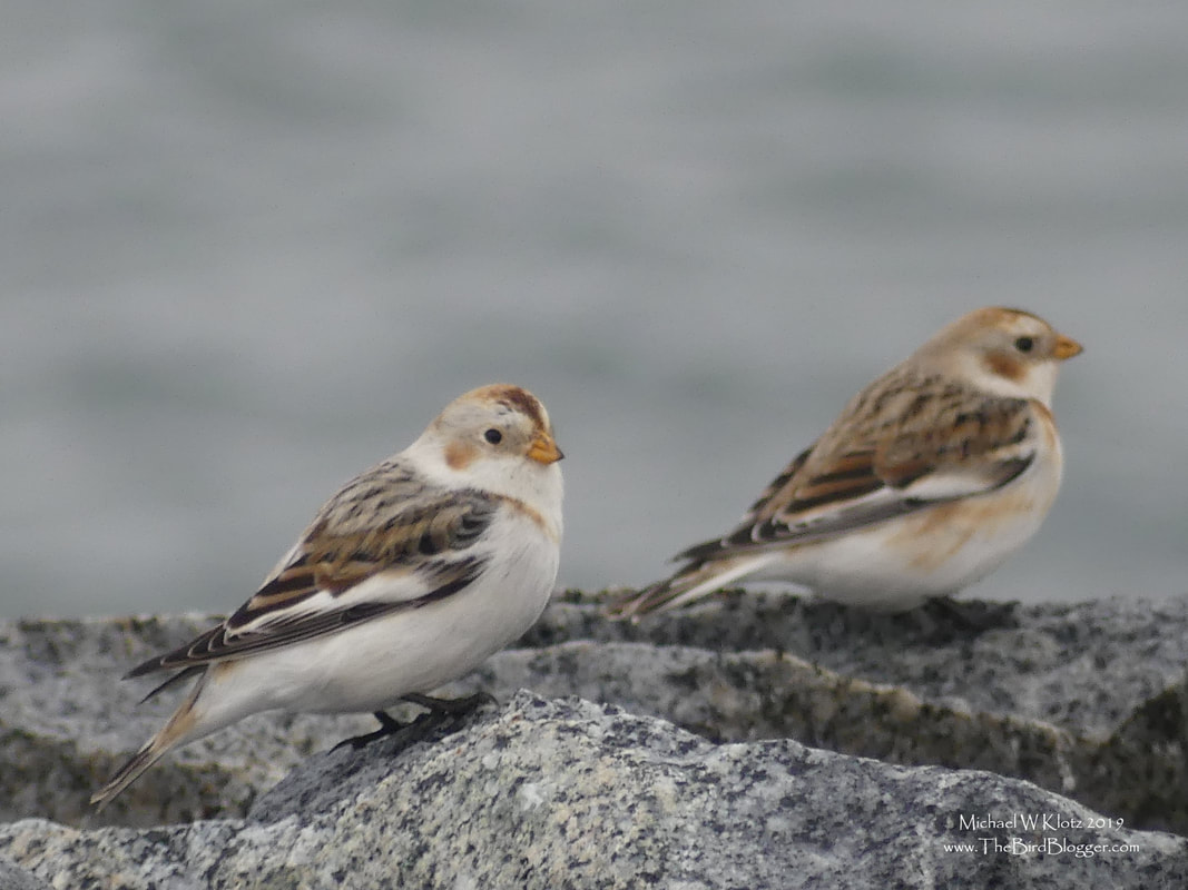 Snow Buntings - Tsawwassen, BC       These hardy little birds were grouped up in a flock of 6 on a very cold and windy day in January on the Tsawwassen Ferry Jetty. The brownish tones that they sport in the winter turn to black and white for breeding in the high artic. The straight back toenail of the species alludes to their cousin the longspur who also frequent the jetty in the spring and fall during migration.             Michael W Klotz - www.TheBirdBlogger.com