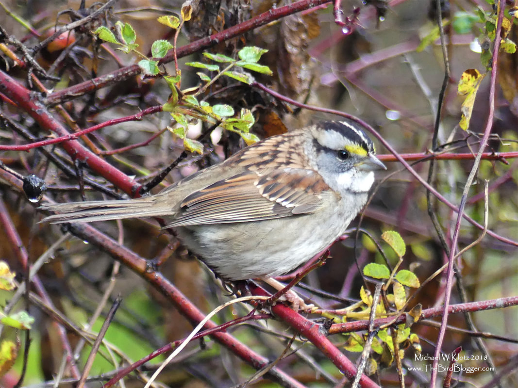 White-throated Sparrow - Vancouver, BC        Another relatively uncommon sparrow in Vancouver as taken up residence for the time being around the stone bridge at Stanley Park. There is a juvenile of the same species that is also here. This year has a huge influx of birds from north of the Rockies. It might have been the severe snow storm that showed up in Alberta at the beginning of the month that led to so many birds that head southeast for the winter to detour here.             Michael W Klotz - www.TheBirdBlogger.com