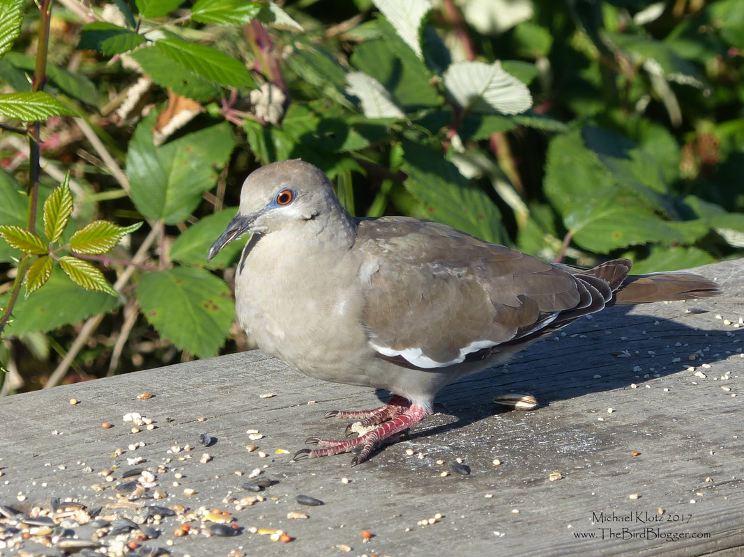 White-winged Dove - Richmond, BC     In the North West corner of Richmond, BC is a fantastic little park call Terra Nova, that turns up great birds during the year with this year being no exception. This White-winged dove is usually found in the dry climates of the southern US and south into Central America and the Caribbean. (Range Map)  The first time I put this bird on my life list was in Dominican Republic. I never thought I would get to see it in my back yard. It appears that this dove, like others in its family have moved into cities and town where feeders are available. The White strip down the wing is the tell tale sign to tell the difference from other North American doves along with the square tail.        Michael Klotz - www.TheBirdBlogger.com